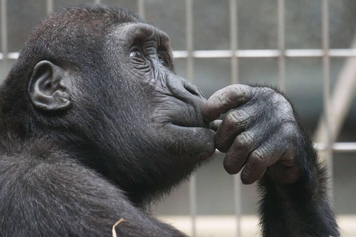 animal-ape-black-33535