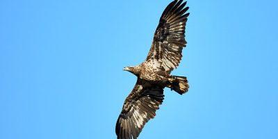 eagle-3549779_640